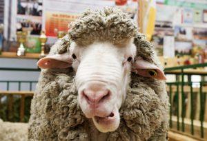 """MOSCOW, RUSSIA - OCTOBER 5, 2016: A Soviet merino sheep on display at the 2016 Golden Autumn Russian agricultural exhibition held at the VDNKh Exhibition Centre. Dmitry Serebryakov/TASS Ðîññèÿ. Ìîñêâà. 5 îêòÿáðÿ 2016. Ñîâåòñêèé ìåðèíîñ íà ðîññèéñêîé àãðîïðîìûøëåííîé âûñòàâêå """"Çîëîòàÿ îñåíü - 2016"""" íà ÂÄÍÕ. Äìèòðèé Ñåðåáðÿêîâ/ÒÀÑÑ"""